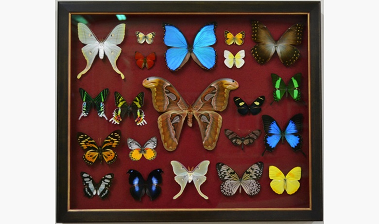 John Jones produced a collection of frames for over 300 butterflies and moths for display in Ralph Lauren's Rugby store © John Jones London